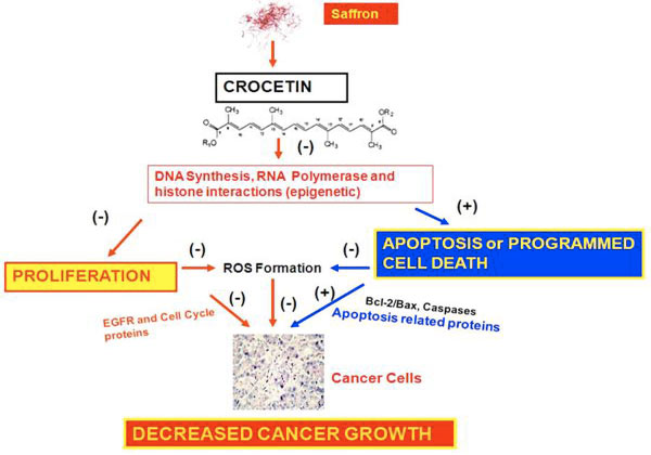Crocetin : Possible mechanism of action in cancer chemoprevention. From William G. Gutheil and Curr Pharm Biotechnol. 2012 Gen; 13 (1): 173-179.